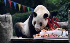 """最长寿大熊猫""""新星""""去世,享年38岁(VIP)"""