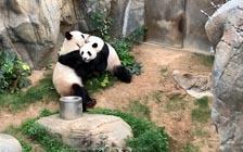 香港大熊猫盈盈乐乐13年来首次自然交配成功