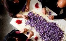 """收获藏红花,意大利乡间的""""红色黄金"""""""