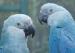 拯救南美洲的蓝色金刚鹦鹉
