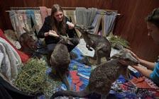 """大火中的""""生物末日"""":抢救澳大利亚野生动物"""