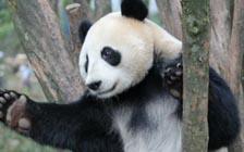为什么人类和大熊猫有惊人相似之处