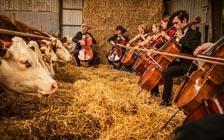 """""""对牛弹琴""""?丹麦农舍为奶牛举办音乐会"""