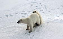 北极科考:在北极熊的冰雪家园里安营扎寨