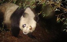"""大熊猫真的是其他野生动物的""""保护伞""""吗?(VIP)"""