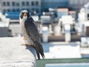城市再野生化 受惠者不只是野生动物