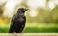 乌鸦可能是除灵长类外最聪明的动物