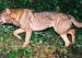 日本狼的神秘发现与灭绝物种的判定悖论